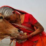 Holy Cow! 'Gau Mata' replaces Nehru, Ambedkar and Maulana in Rajasthan school syllabus