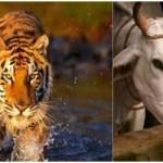 Hindutva Groups cow fetish is absurd!