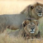 Jericho rejects natural instincts, adopts brother Cecil's cubs. Nature restored what Walter Palmer destroyed