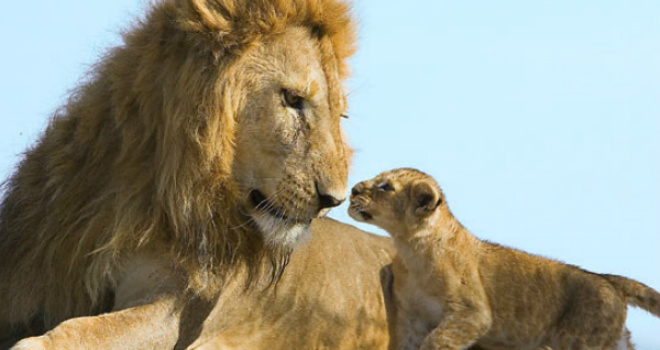 minden-pictures-male-lion-cub